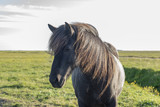 Lonely horse in Iceland