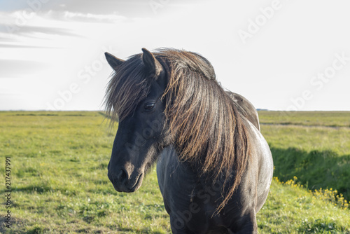 Canvas Paarden Lonely horse in Iceland