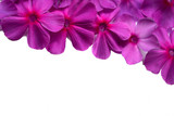 delicate pink phlox flowers on white background, top view, elegant floral frame