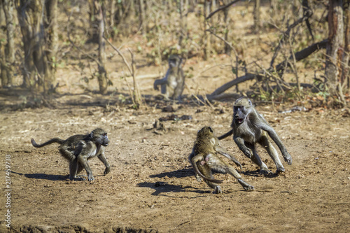 Foto Spatwand Aap Chacma baboon in Kruger National park, South Africa