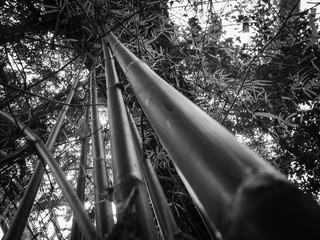 Bamboo trunks black and white