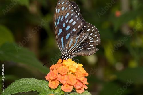 Canvas Vlinder ein blau gesprenkelter Schmetterling auf einer orangen Blüte sitzend fotografiert in einem Tropenhaus und mit Makroobjektiv