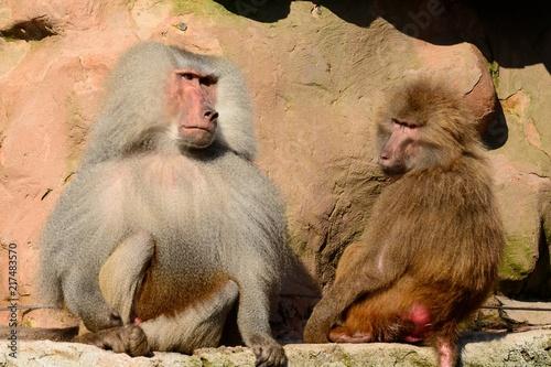 Poster Hamadryas baboons (papio hamadryas)