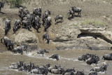 The migration of the gnoes crossing the Marariver in Tanzania