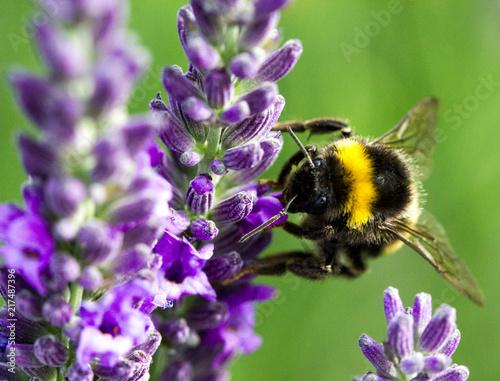 In de dag Bee bourdon qui butine la lavande