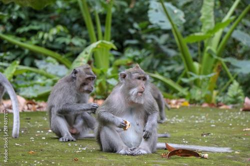 Fotobehang Bali Balinese long-tailed monkey at Monkey Temple Forest, Ubud