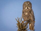 Great Gray Owl - 217491109