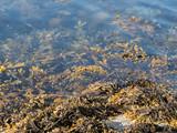 Fucus algae on fjord shoreline in Norway - 217491394