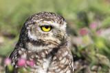 Coruja buraqueira - Owl - 217493325