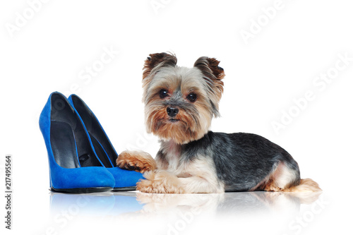 Side View Picture Of A Yorkie Dog Laying On Blue Shoes Buy Photos