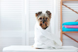 Yorkshire terrier puppy wrapped in a towel
