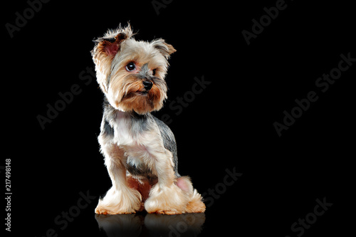 Isolated On Black Yorkie Dog Looking To The Side Buy Photos Ap