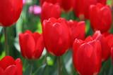 Nice tulips close up