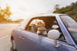 Quadro Dog enjoying a ride with the vintage car color purple on the road