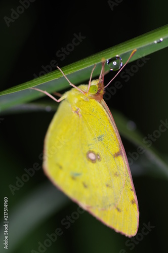 Yellow Butterfly Sleeping In Night Dew Buy Photos Ap Images