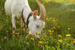 Female goat grazing, eating grass on meadow full of dandelions, lit by afternoon sun, detail to head and horns.