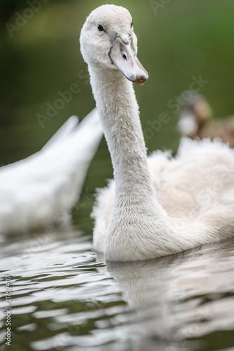 Swan chicks on river