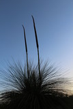 grass tree flowering