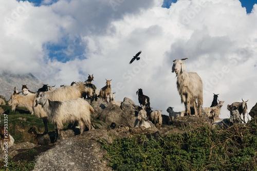 Foto Murales Goats in Himalaya Mountain