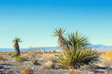 Yucca Schidigera (Mojave Yucca)   in the Mojave Deserte,  California, United States. - 217536168