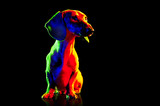Sitting colorful dachshund in a black studio looking to the side