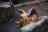 Orangutan is resting on the stone