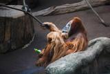 Orangutan is resting on the stone