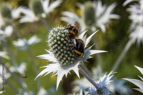 Foto Murales Bees on Eryngium