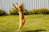 Ginger cat jumps, on a green grass background. - 217547769