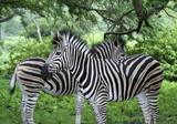 zwei Zebras konträr - 217550335