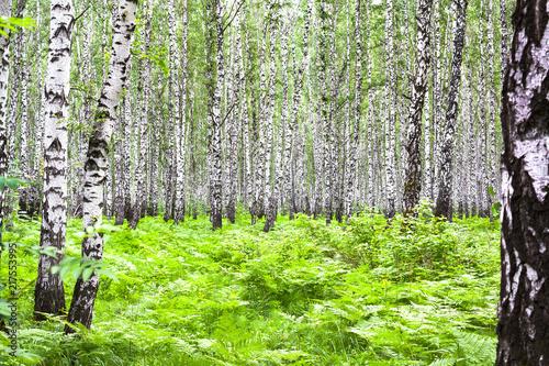 Foto Spatwand Berkenbos summer landscape with birches in forest