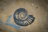 Fossil Ammonite for fuel and gas industry - 217572723