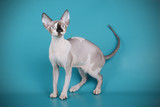 Studio photography of a canadian Sphinx cat on colored background