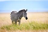 African zebra in long grass, Masai Mara, Kenya