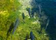Leinwanddruck Bild - Forellen schwimmen im Wasser