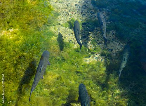 Leinwanddruck Bild Forellen schwimmen im Wasser
