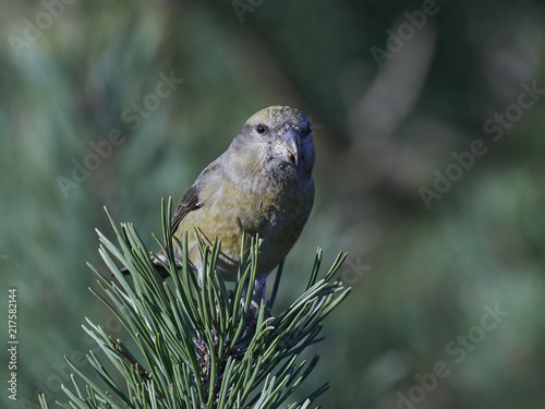 Fotobehang Papegaai parrot crossbill (Loxia pytyopsittacus)