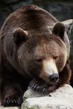 Brown Bear (Ursus arctos) sleeping