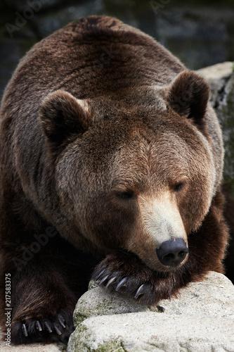 Foto Murales Brown Bear (Ursus arctos) sleeping
