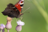 Butterfly on a flower in the nature - 217588739