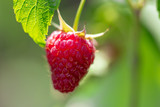 Red ripe raspberries in the garden