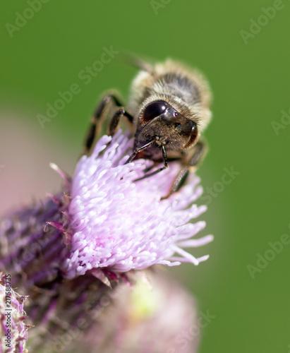 In de dag Bee Bee on a blue flower in nature