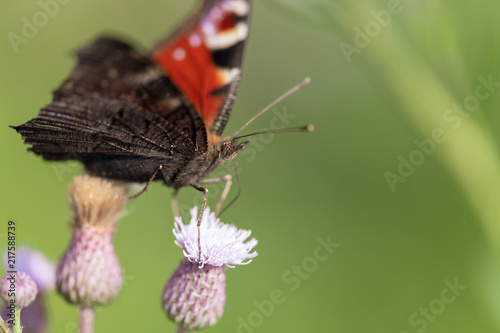 Foto Spatwand Vlinder Butterfly on a flower in the nature