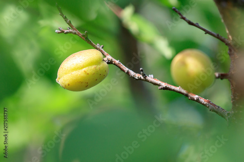 Foto Murales Yellow apricot on a tree branch in the afternoon