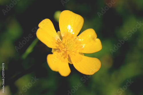Yellow flower bud with five petals summer outdoor background buy yellow flower bud with five petals summer outdoor background mightylinksfo