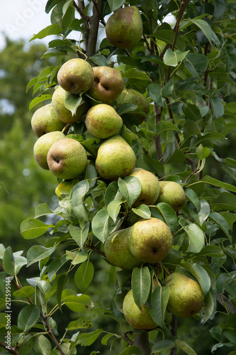 Foto Murales Cluster of ripe light green pears on pear tree in an orchard