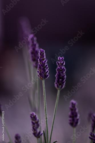 Foto Spatwand Lavendel macro flowers