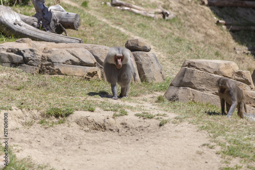 Poster Baboon