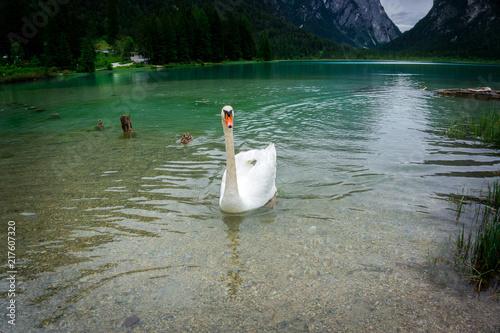 Schwan und Ente auf dem Toblacher See-2