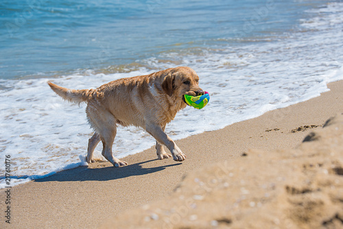 Golden Retrieverr  the  in the ocean